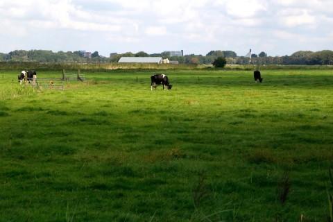 Landschap koeien